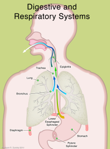 GERD-digestive and respiratory systems