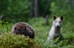 Hedgehog-and-dog-300x196
